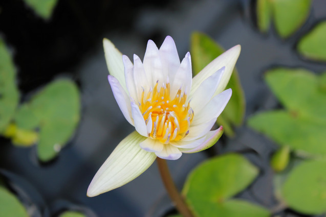 White Water Lily - 7709