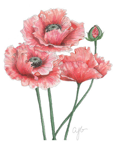 large red poppies.jpg