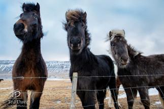The Three Ponies.jpg