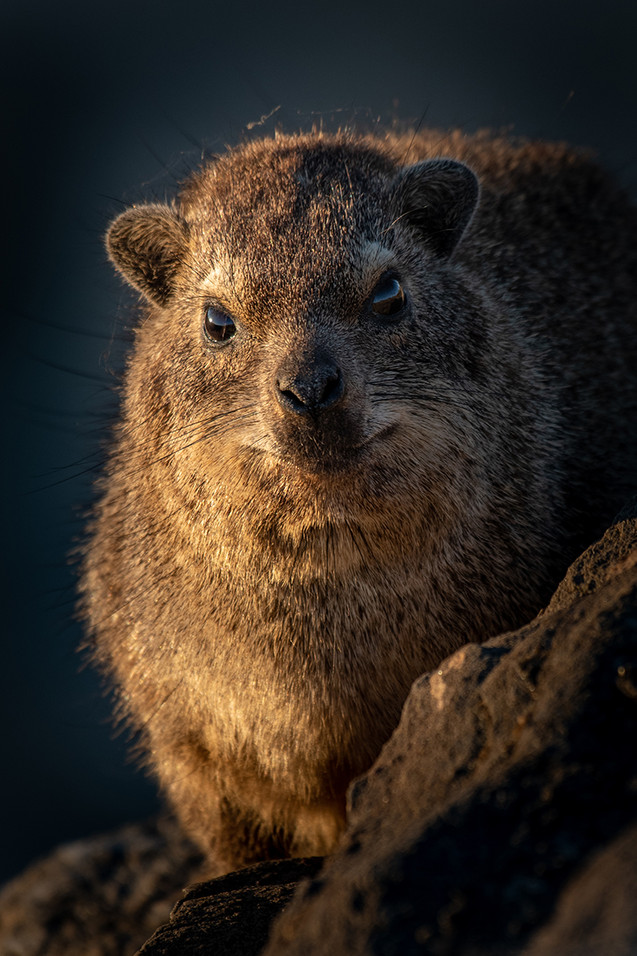 Rock Hyrax in Namibia