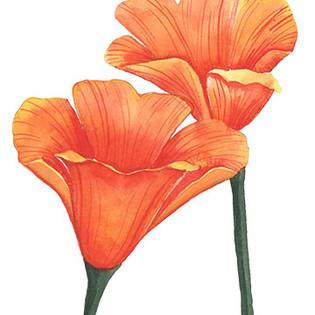 california poppies.jpg