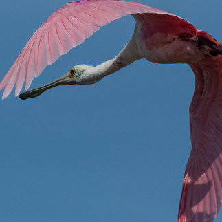 Roseate Spoonbill Flying-3