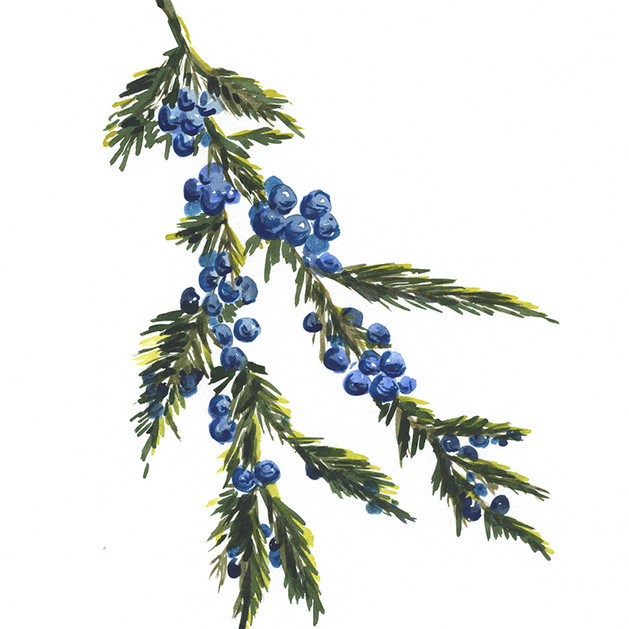 Juniper berry branch