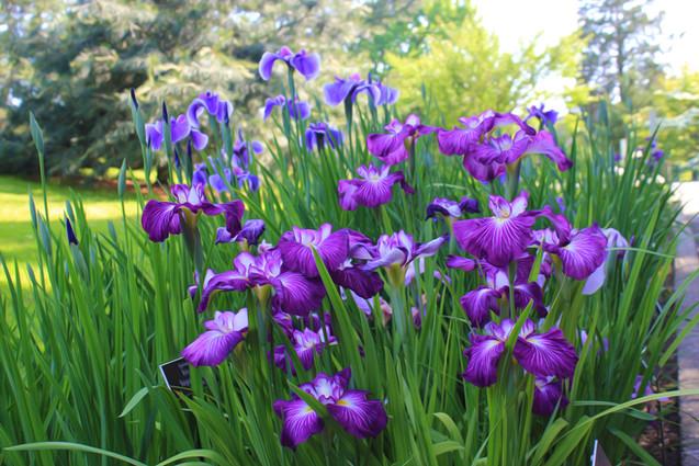 Purple Irises in Field (IRIS-11)