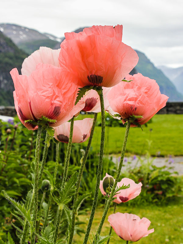 Pink Poppies on Mountain Top Photo (PF-8