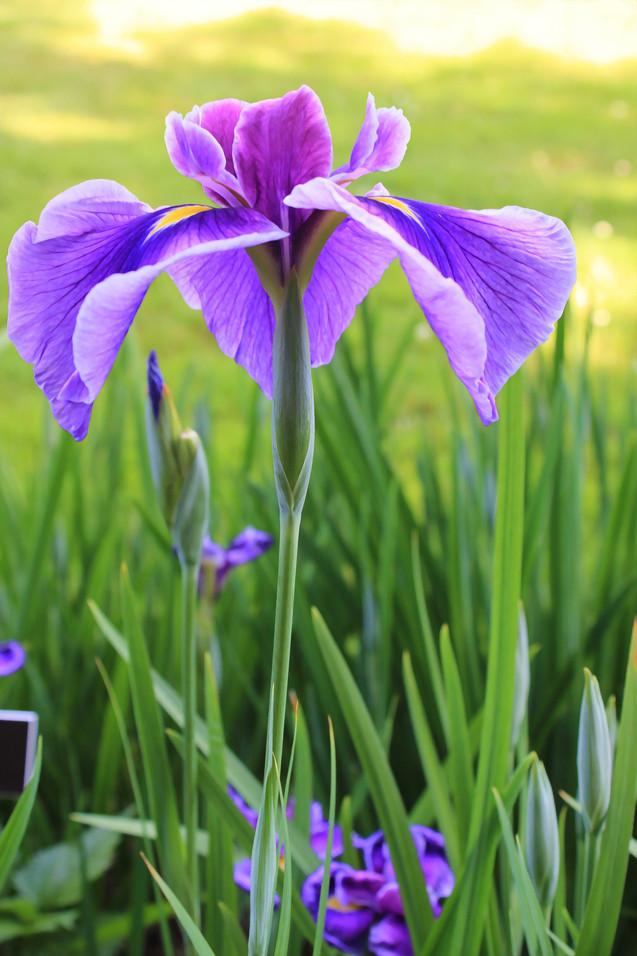 Single Purple Iris (IRIS-10)