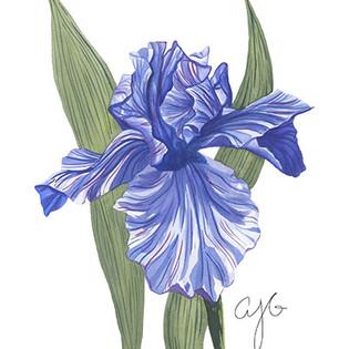single iris.jpg