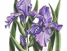 Purple Irises.jpg