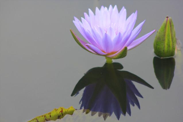 Purple Water Lily Photo (WL_6267)