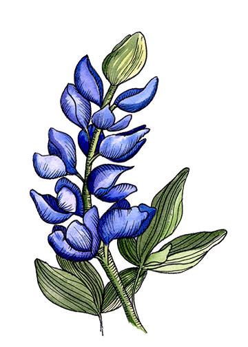 Bluebonnet 5.jpg