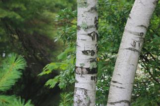 Birch-1.jpg