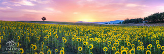 Sunflower Adulations.jpg