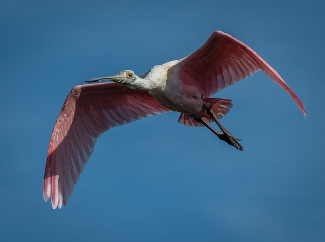 Roseate Spoonbill Flying-4