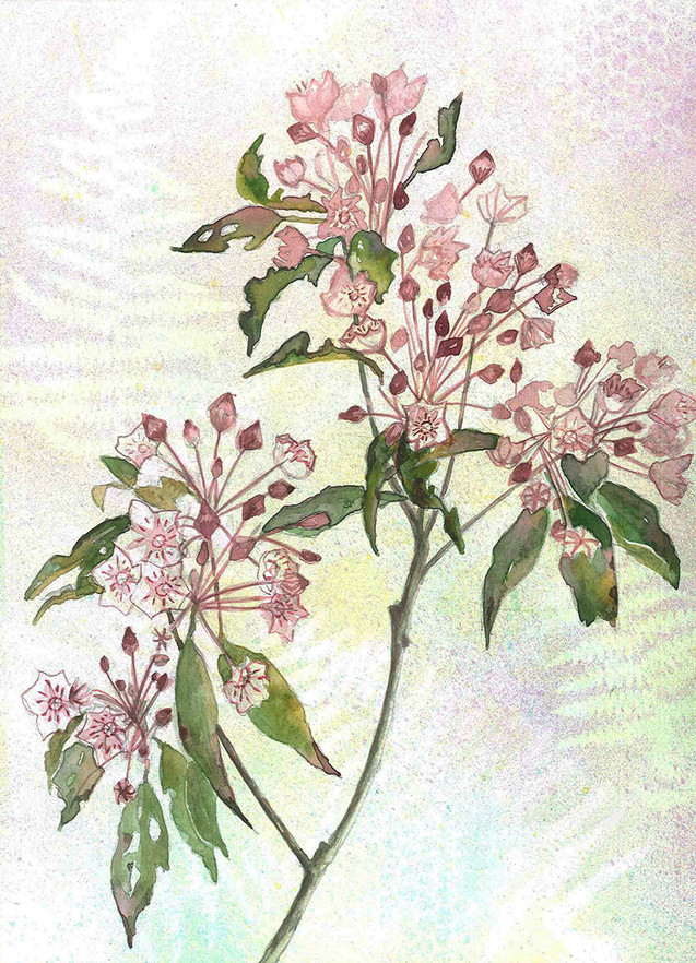 Mountain Laurel.jpg