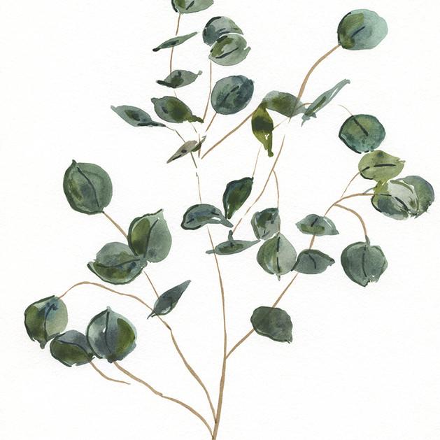 Silver leaf eucalyptus.jpg