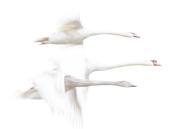 Abstract Swans