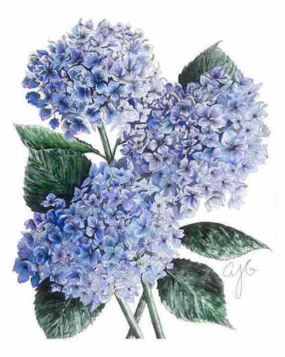 Blue Hydrangeas.jpg