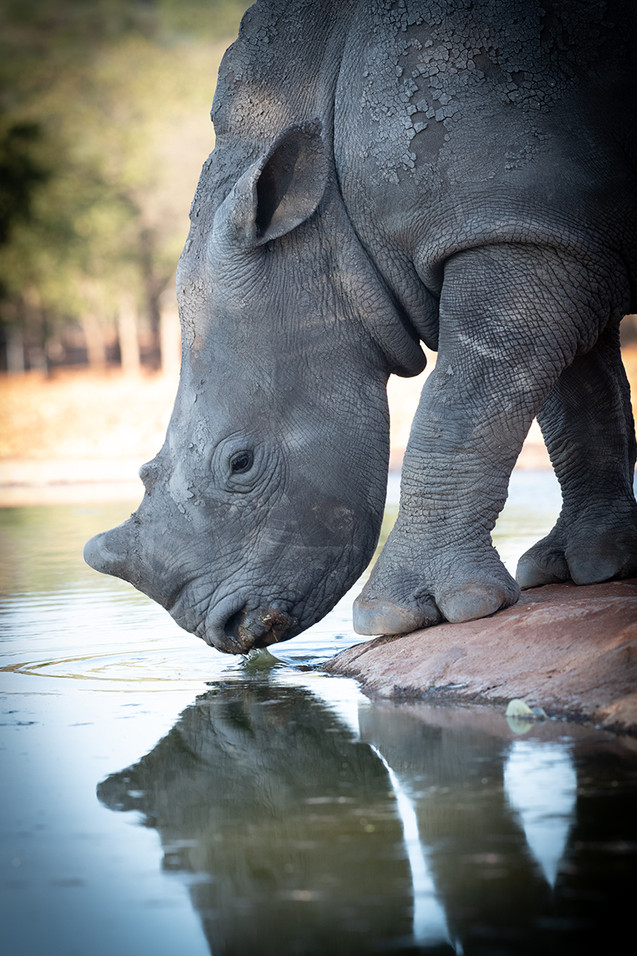 Baby Rhino Getting a Drink
