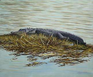 A-81-alligator.jpg