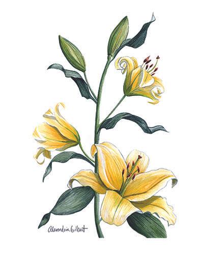 Yellow LIlies.jpg
