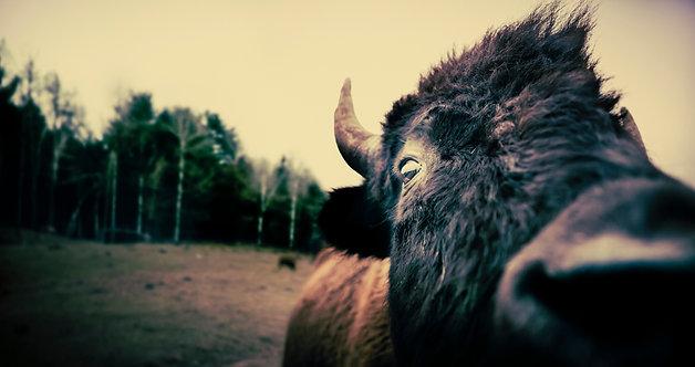 Buffallo