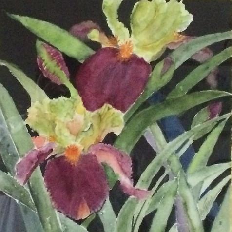 Tanta's Iris