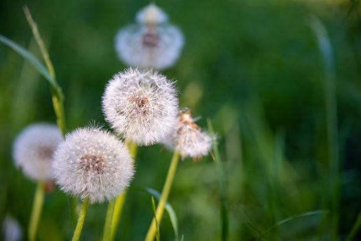 dandelions-5195834_1280.jpg