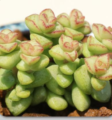 Crassula rupestris tom thumb