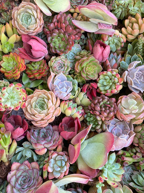 Starter Pack of 30 Succulent (less than $3/pc)