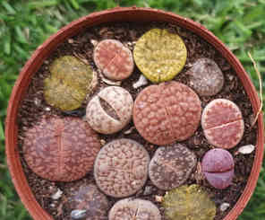 Exotic colorful lithop