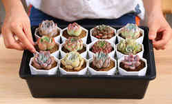 succulent set of 12
