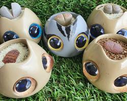 Bug Eye Lithops Set