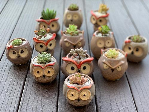 Owl Pot Succulents