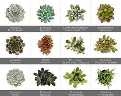 Succulent Names