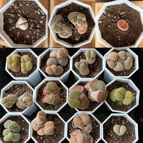 Lithops (2 stocks, double heads) 3-5cm (6 years)
