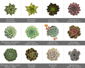 Knowing your succulents