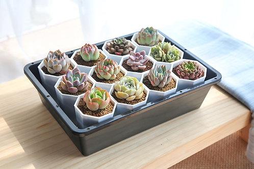 rare succulent starter kit, starter pack