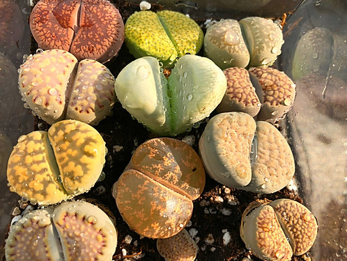 big colorful exotic lithops (stone plant)