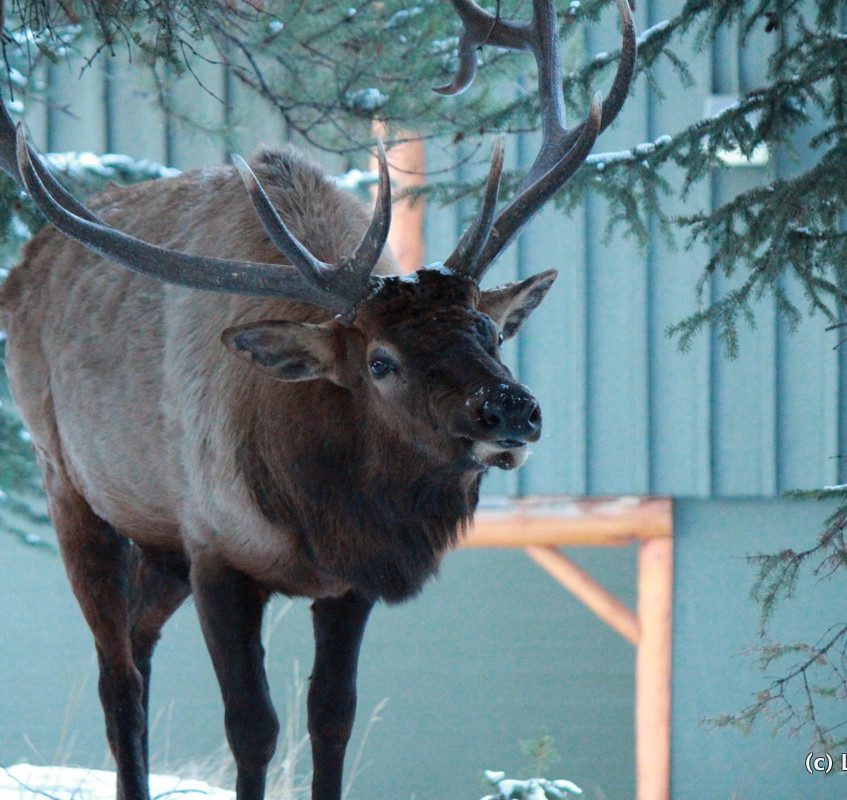 Elk in Banff