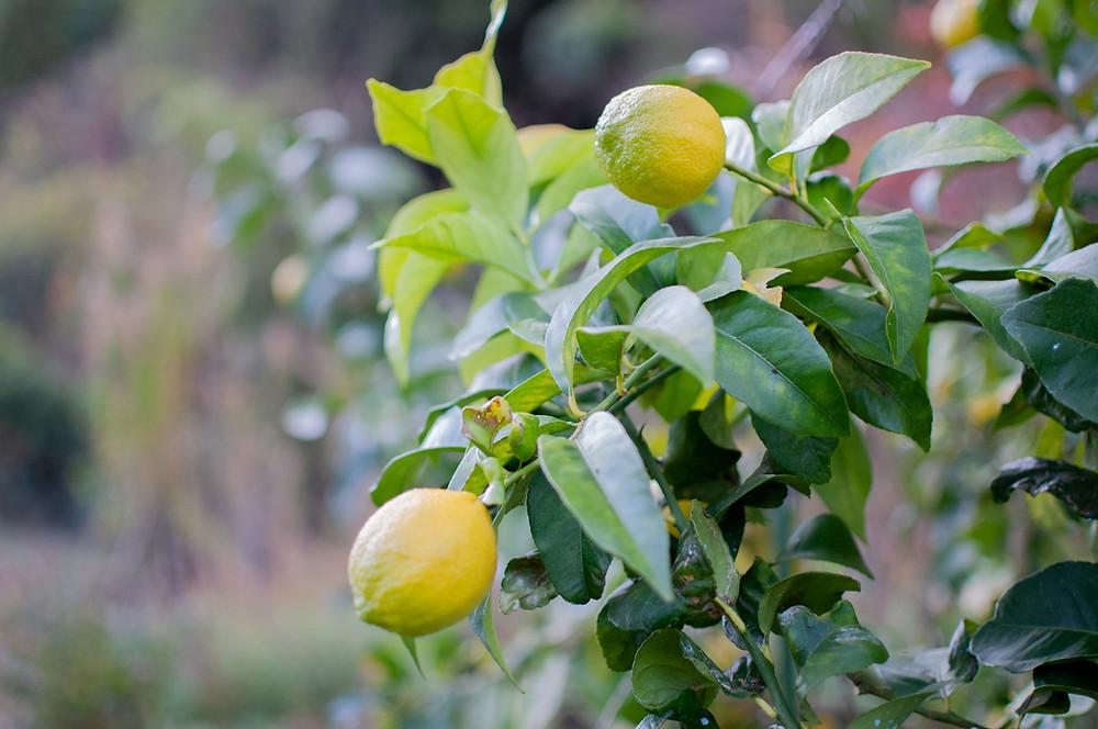 広島レモンの皮の栄養素