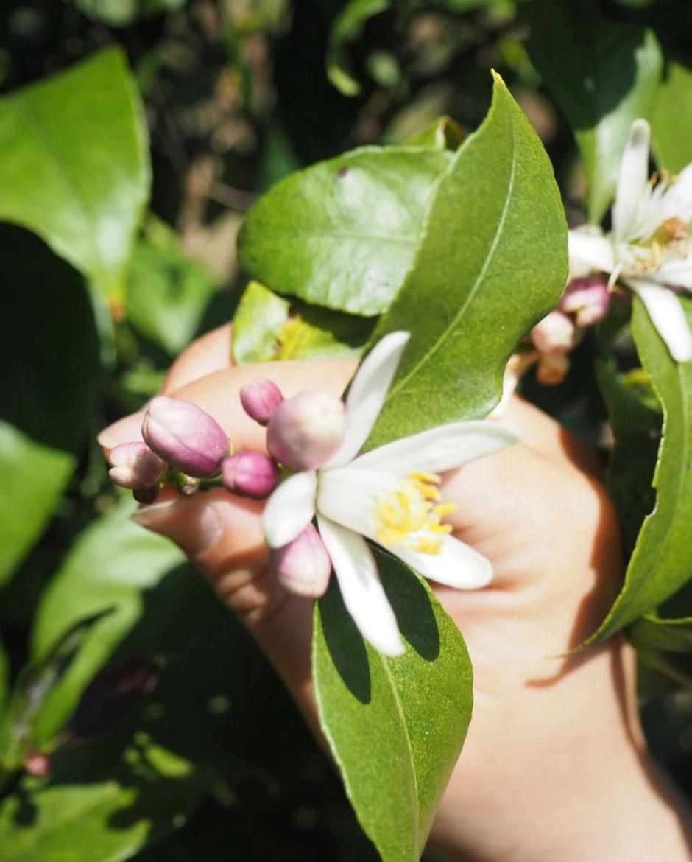 瀬戸内・広島レモンの花