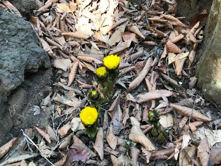 ようやく咲き始めました―境内のフクジュソウ