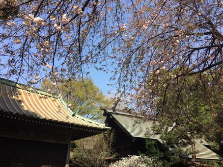 八重桜咲き始めました