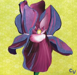 Iris hybrida
