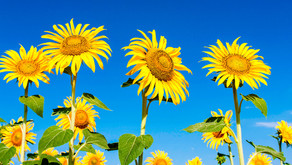 Get the kids to grow beautiful sunflowers and support HB&L RDA at the same time...