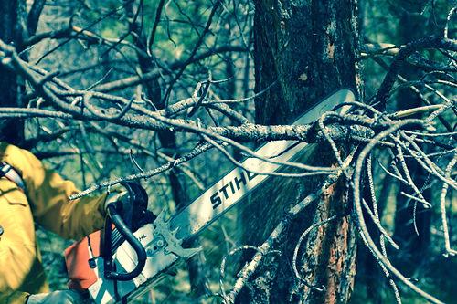 Sawyer with a chain saw trims a tree.