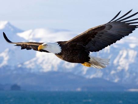 冬の名物、ハクトウワシ(Bald Eagle)を見に行く。