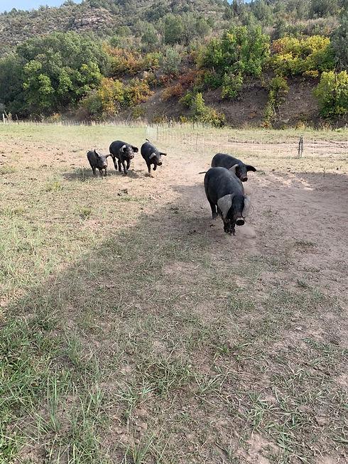 Pigs16.jpg