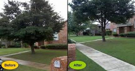 Shults tree service raising limbs