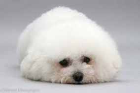 Bichon Frise need regular grooming. All dogs groomed, nails clipped ears plucke.